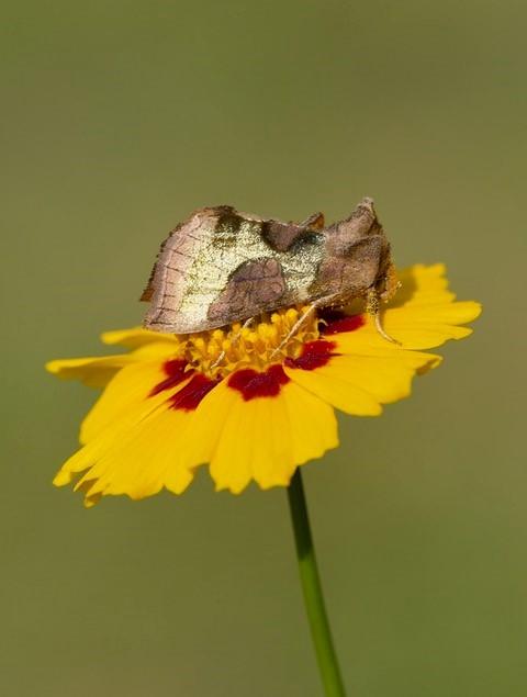 Diachrysia chrysitis - Burnished Brass, Austerfield.