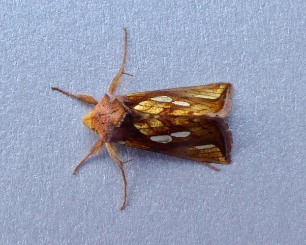 Plusia festucae -  Gold Spot, Intake, Doncaster