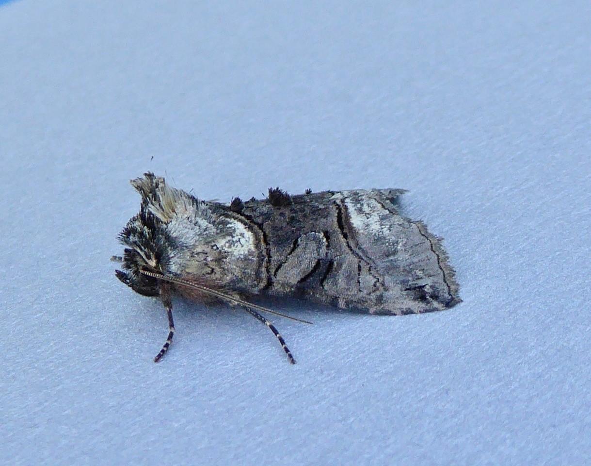 Abrostola tripartita -  Spectacle, Intake, Doncaster