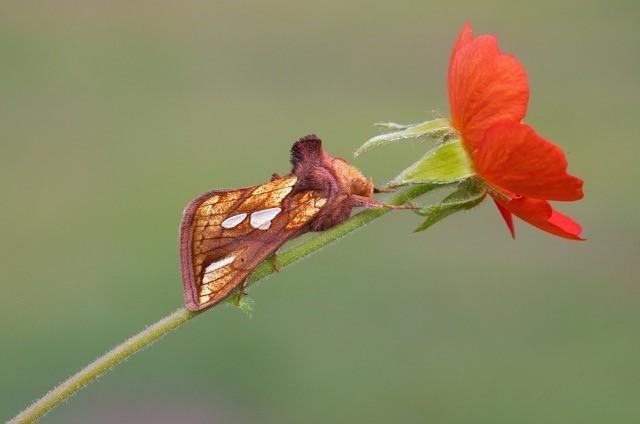 Plusia festucae - Gold Spot, Austerfield.