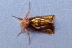 Plusia festucae -  Gold Spot, Intake, Doncaster
