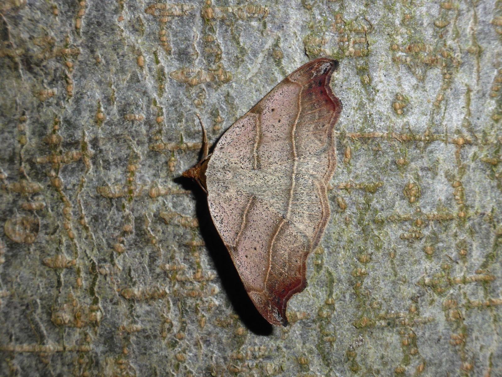 Laspeyria flexula - Beautiful Hook-tip - Brockadale-NR