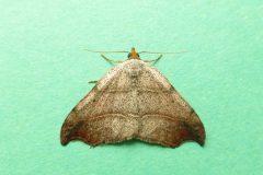Laspeyria flexula - Beautiful Hook-tip - Kirk Smeaton