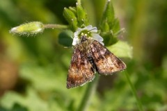 Panemeria tenebrata - Small Yellow Underwing, Austerfield.