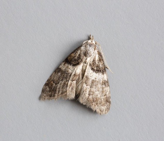 Nola cucullatella - Short-cloaked Moth, Woodside Nurseries, Austerfield.