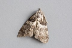 Nola cucullatella - Short-cloaked Moth, Woodside Nurseries, Austerfield.
