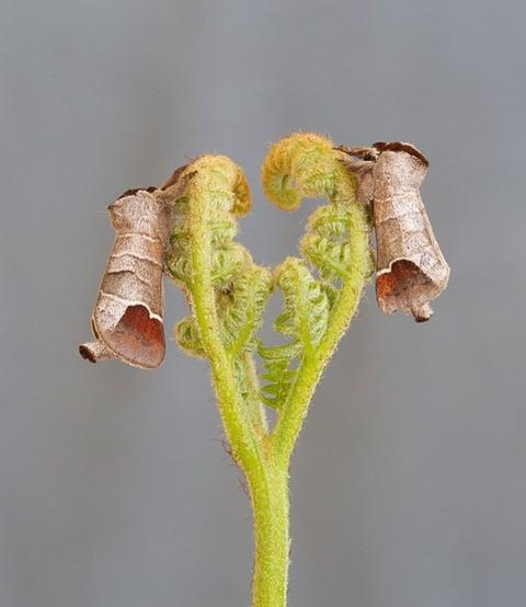 Clostera curtula - Chocolate-tip, Woodside Nurseries, Austerfield.