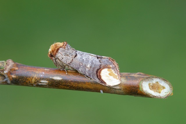 Phalera bucephala - Buff-tip, Woodside Nurseries, Austerfield.