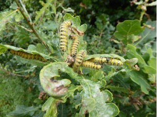 Phalera bucephala - Buff-tipped moth (caterpillars), Cusworth Hall and Park