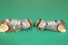 Phalera bucephala - Buff-tip - Kirk Smeaton