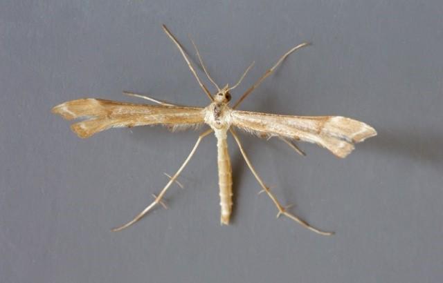 Gillmeria ochrodactyla - Tansy Plume, Woodside Nurseries, Austerfield.