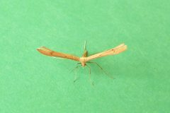 Srenoptilia pterodactyla - Brown Plume - Kirk Smeaton