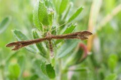 Marasmarcha lunaedactyla, - Crescent Plume, Thorne Moor