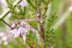 Buckleria paludum - Sundrew Plume Moth, Thorne Moor