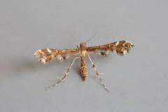 Capperia britanniodactylus - Wood Sage Plume, Woodside Nurseries, Austerfield.