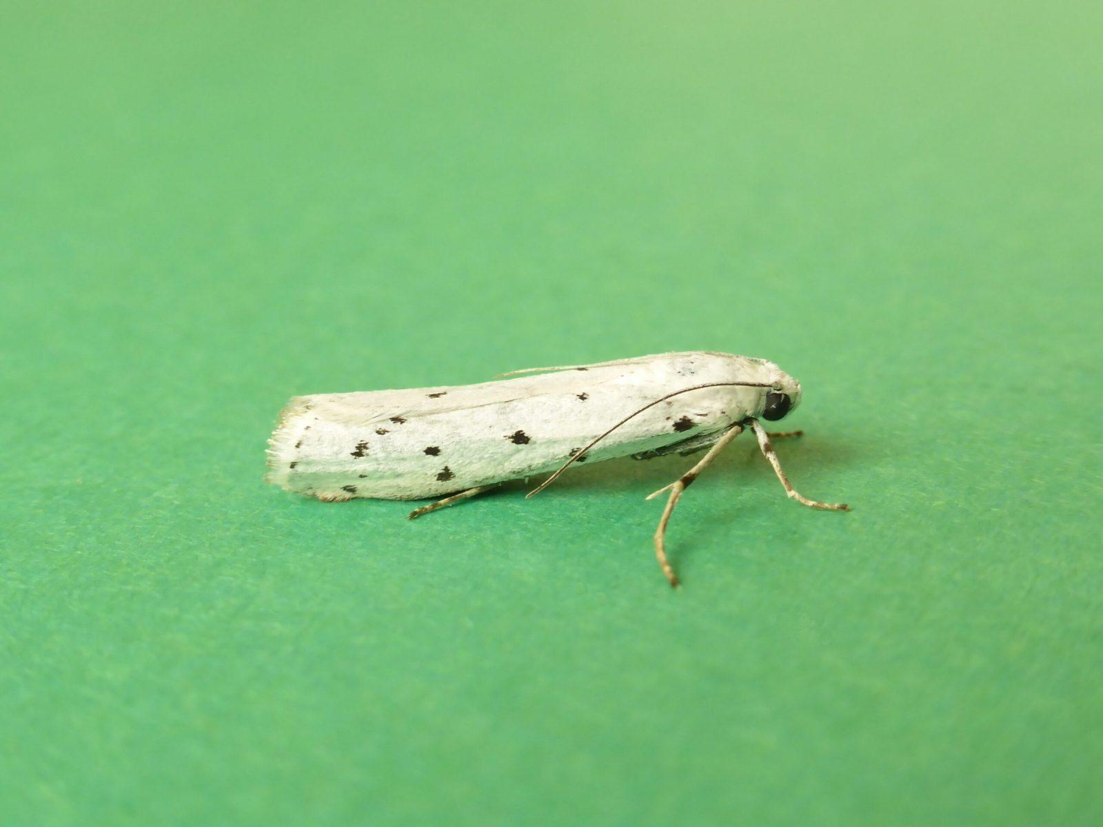 Myelois circumvoluta - Thistle Ermine - Kirk Smeaton
