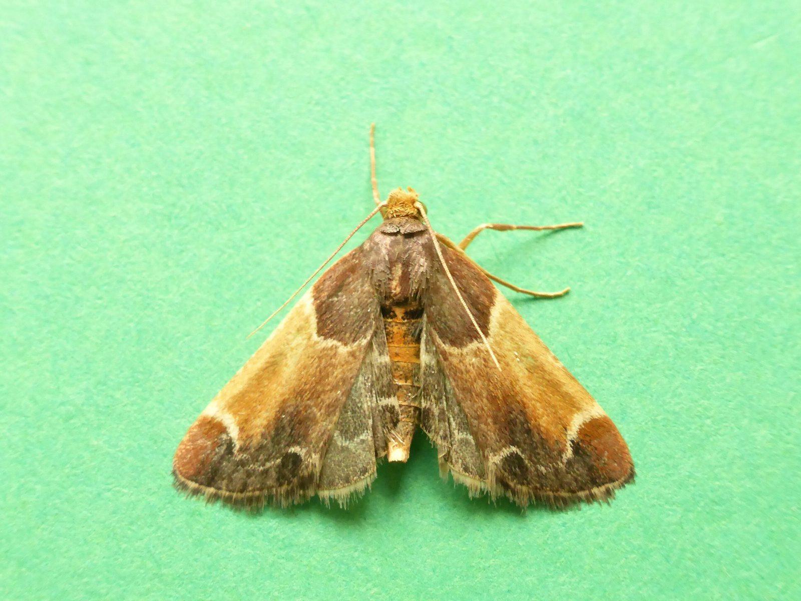 Pyralis farinalis - Meal Moth - Kirk Smeaton