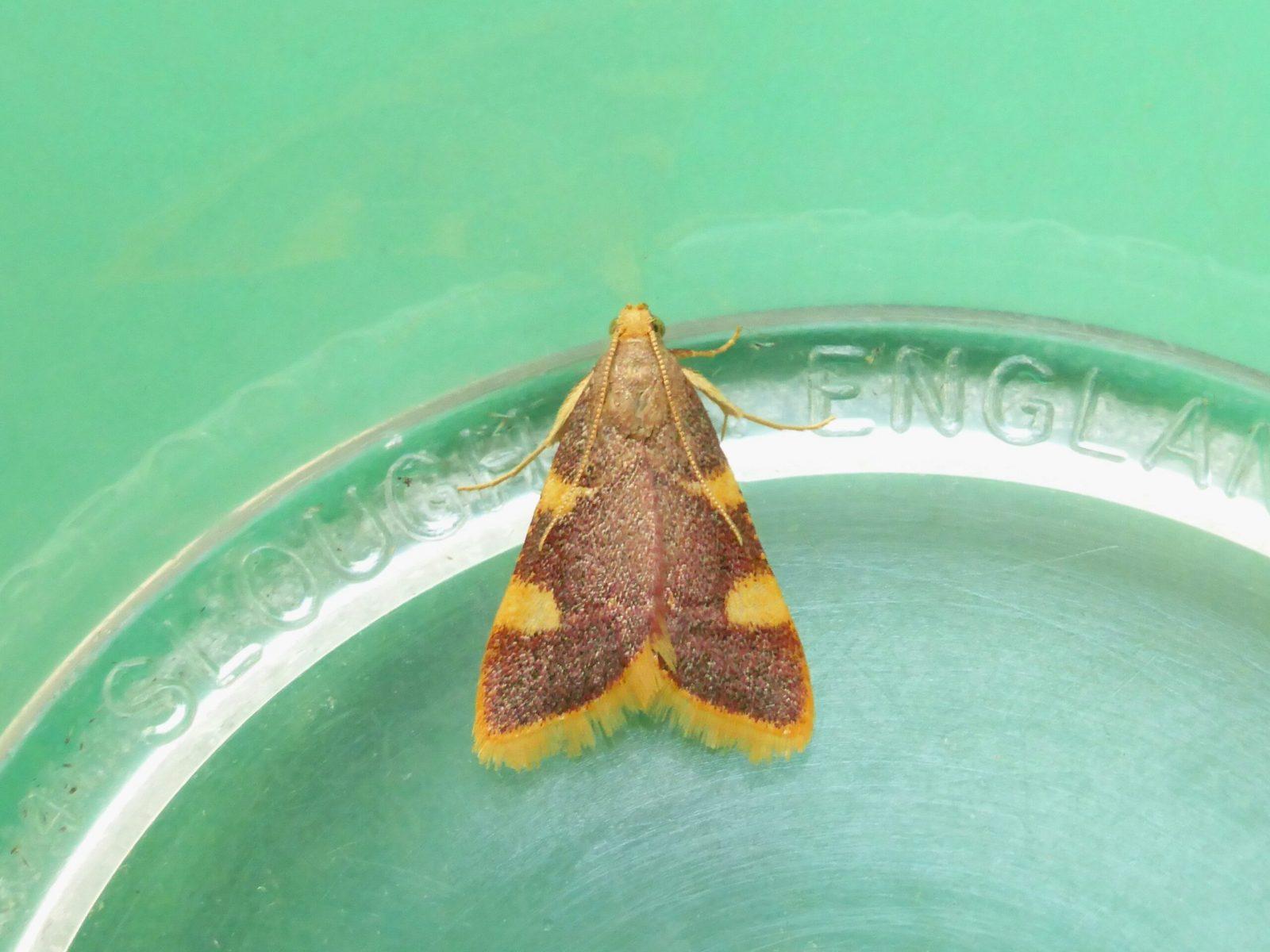 Hypsopygia costalis - Gold Triangle - Kirk Smeaton