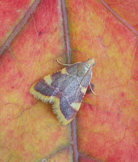 Hypsopygia costalis - Gold Triangle, Woodside Nurseries, Austerfield.
