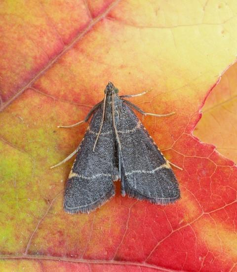 Hypsopygia glaucinalis, Woodside Nurseries, Austerfield.