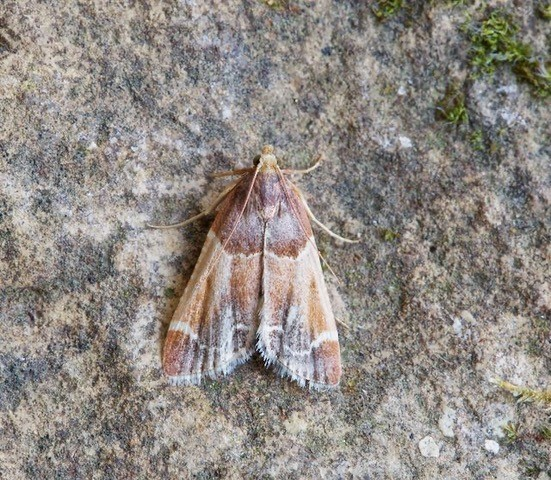 Pyralis farina's - Meal Moth, Woodside Nurseries, Austerfield.
