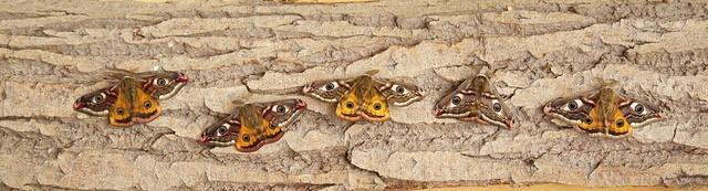 Saturnia pavonia - Emperor Moth, Woodside Nurseries, Austerfield.