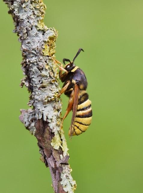 Sesia bembeciformis - Lunar Hornet Moth, Woodside Nurseries, Austerfield.