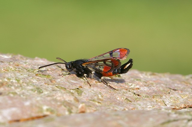 Synanthedon formicaeformis - Red-tipped Clearwing, Woodside Nurseries, Austerfield.