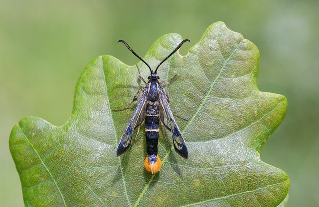 Synanthedon scoliaeformis - Welsh Clearwing, Sherwood Forest CP.