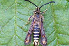 Bembecia ichneumoniformis - Six-belted Clearwing, YWT Potteric Carr.