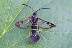 Synanthedon tipuliformis - Currant Clearwing, Woodside Nurseries, Austerfield.