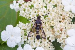 Synanthedon vespiformis - Yellow-legged Clearwing, Woodside Nurseries, Austerfield.
