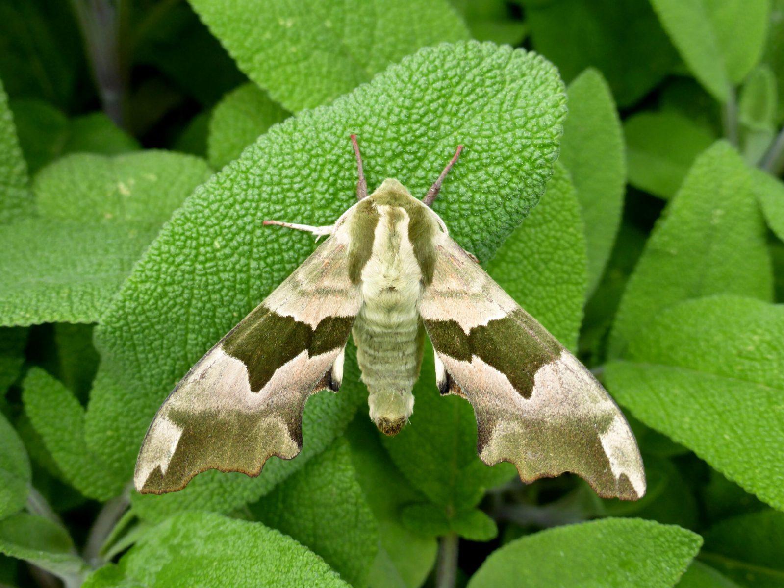 Mimas tiliae - Lime Hawk-moth - Kirk Smeaton