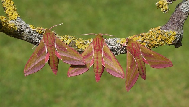 Deilephila elpenor - Elephant Hawk-moth, Woodside Nurseries, Austerfield.