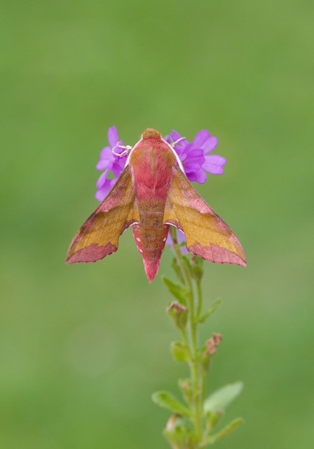 Deilephila porcellus - Small Elephant Hawk-moth, Woodside Nurseries, Austerfield.