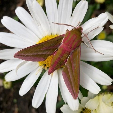 Deilephila elpenor -  Elephant Hawk- moth, Intake, Doncaster