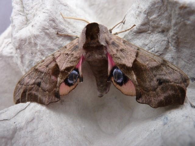 Smerinthus ocellata - Eyed Hawkmoth