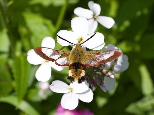 Hemaris fuciformis - Broad-bordered Bee Hawk-moth, Chambers Farm Wood, Lincs.