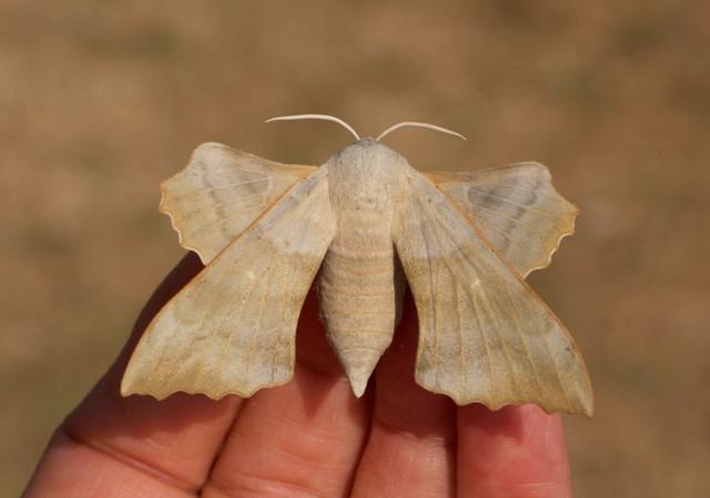 Laothoe populi - Poplar Hawk-moth (buff form) (female), Woodside Nurseries, Austerfield.