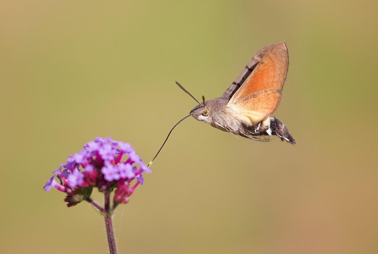 Macroglossum stellatarum - Hummingbird Hawk-moth, Woodside Nurseries, Austerfield.