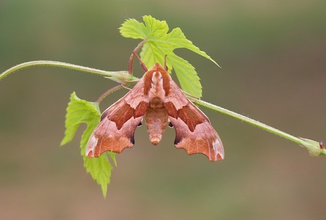 Mimas tiliae f. brunnea - Lime Hawk-moth, Woodside Nurseries, Austerfield.