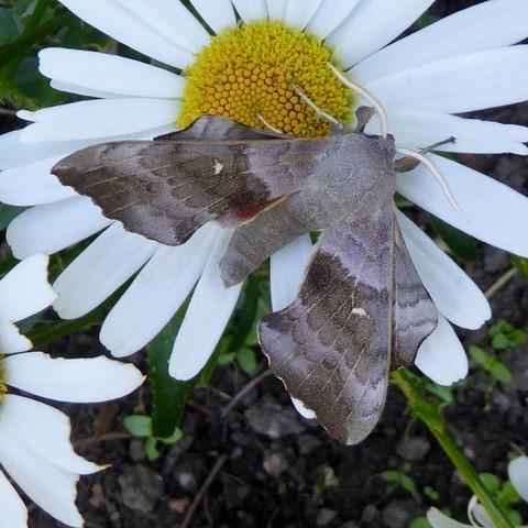 Laothoe populi, -  Poplar Hawk-moth, Intake, Doncaster