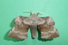 Laothoe populi - Poplar Hawk-moth (male) - Kirk Smeaton