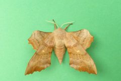 Laothoe populi - Poplar Hawk-moth (female) - Kirk Smeaton