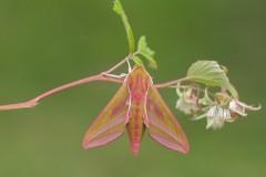 Deilephila elpenor - Elephant Hawk-moth, Woodside Nurseries, Austerfield.