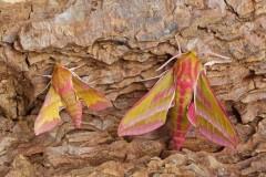 Elephant Hawk-moth and Small Elephant hawk-moth comparison, Woodside Nurseries, Austerfield.