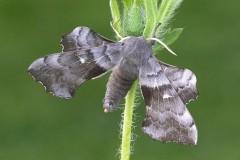 Laothoe populi - Poplar Hawk-moth, Woodside Nurseries, Austerfield.