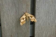 Mimas tiliae - Lime Hawk moth, Cusworth Hall and Park