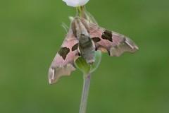 Mimas tiliae - Lime Hawk-moth, Woodside Nurseries, Austerfield.