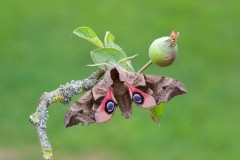 Smerinthus ocellata - Eyed Hawk-moth, Woodside Nurseries, Austerfield.